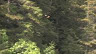 WS, TS, Bald Eagle (Haliaeetus leucocephalus) flying in woods, Glacier Bay National Park and Preserve, Alaska, USA