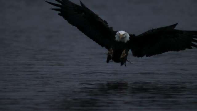 Bald Eagle grabs salmon carcass from surface of water.
