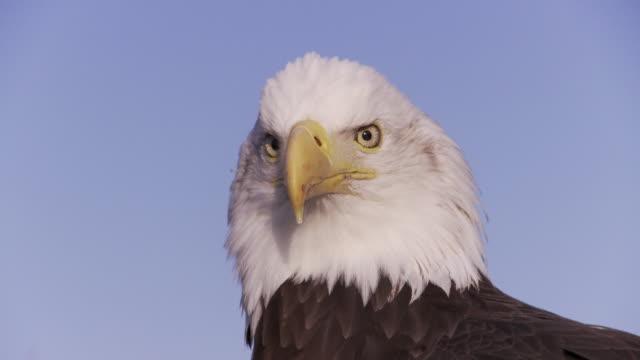 CU Bald Eagle (Haliaeetus leucocephalus) head against blue sky / Boise, Idaho, USA