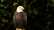 Bald eagle in the wind