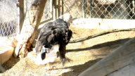 Bald Eagle on ground in pen walking looking around National symbol American symbol USA United States captivity zoo bird of prey