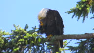 Bald eagle perched in tree scratching its head with craw