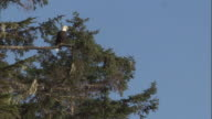 A bald eagle perches on a conifer branch. Available in HD.
