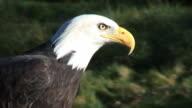 Bald Eagle tight shot, calls out inc. audio