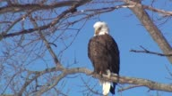 WGN Bald eagles at Starved Rock on February 22 2014 in Cary Illinois
