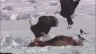 Bald eagles (Haliaeetus leucocephalus) swoop onto elk carcass, Yellowstone, USA