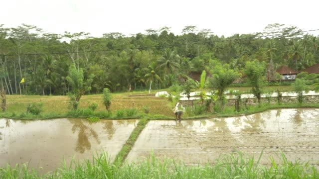 WS ZO balines'agricoltore che lavora sui campi di riso