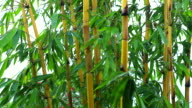 Bamboo bushes in the rain