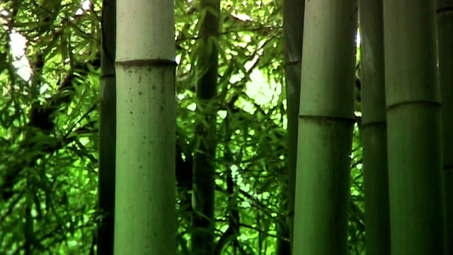 Bamboo forest in East Asia