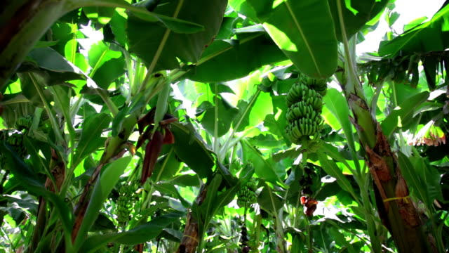 Banana plantation. Bunch of green fruits