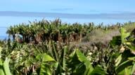 banana plantation + close up (2 shots)
