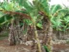 Banana Plantation, Moving Tracking Shot