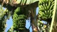 Banana Tree + Audio (2 shots)
