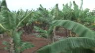 (HD1080i) Banana Trees, Moving Tracking Shot