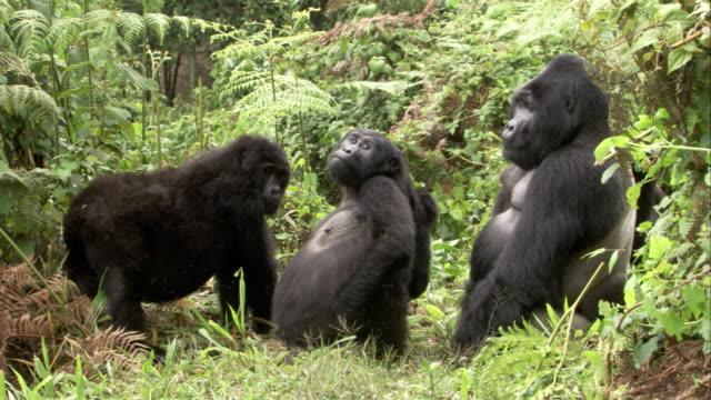A band of gorillas socialize in a clearing. Available in HD.