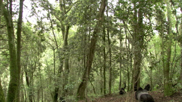 A band of Mountain Gorillas rests in a clearing in the forest. Available in HD.