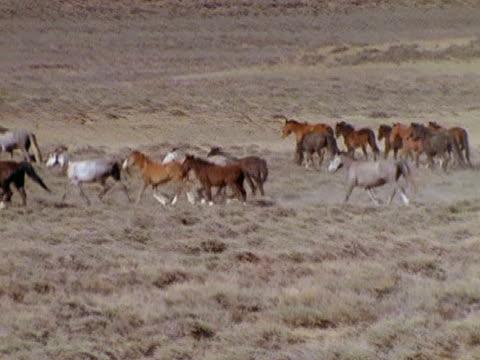 Band of wild horses trotting open plain PAN walking band
