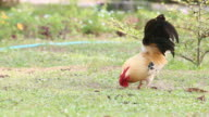 Bantam rooster finding food on the ground