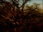 Baobab trees on edge of salt pan.