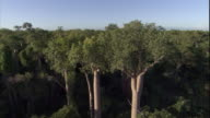 Baobab trees tower over a vast forest in Madagascar. Available in HD.