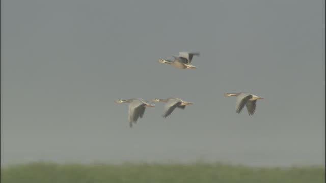 Bar headed geese fly over prairie, Bayanbulak grasslands.