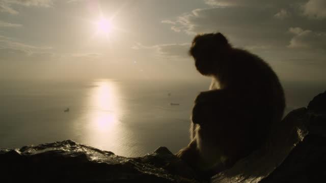 Barbary macaque (Macaca sylvanus) at sunset on Rock of Gibraltar