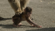 Barbary macaque (Macaca sylvanus) drags baby over ground, Gibraltar