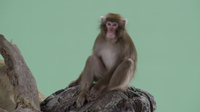 Barbary macaque monkey shot over a green screen background sits on a rock and yawns, then screams.