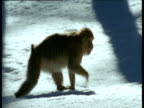 Barbary macaque walks through snowy forest