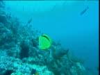 Barberfish (Heniochus nigrirostris) swims amongst shoal of Pacific Creole fish (Paranthias colonus), Cocos Island, Costa Rica
