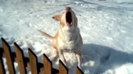 Barking dog in snow at fence - slow-motion version