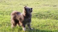 barking sheep dog