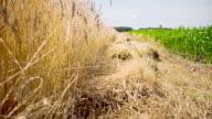 WS DS Gerste und Mais Felder