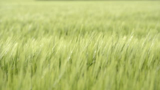 Barley corn swaying in the wind HD