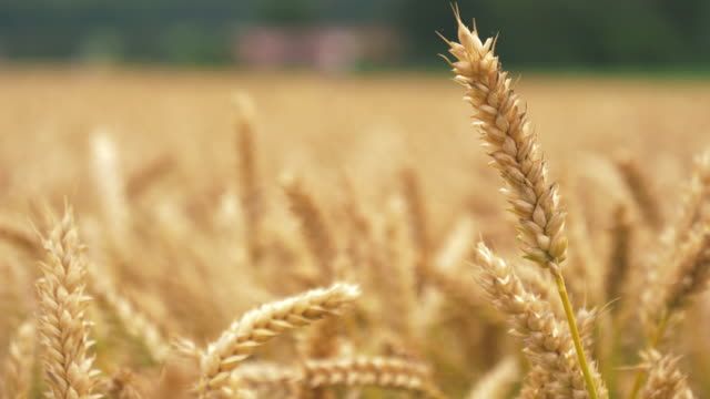 Barley Crop Field in Close Up