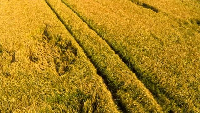 Barley Field in Summer Aerial Flyover Shot