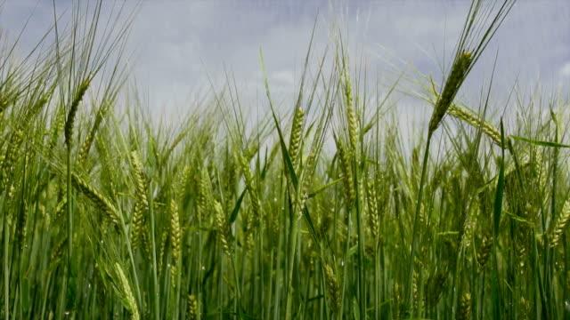 Barley Irrigation Tracking Shot