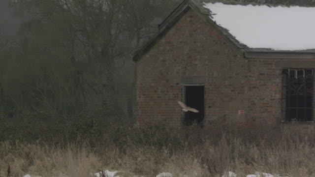 Barn owl (Tyto alba) flies into building on disused airfield, Essex, England