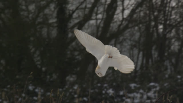 Barn owl (Tyto alba) pounces onto prey on snowy airfield, Essex, England