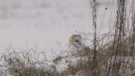 Barn owl (Tyto alba) takes off with prey on disused airfield, Essex, England