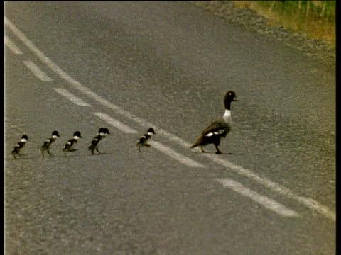 Barrow's Goldeneye duck and ducklings cross road
