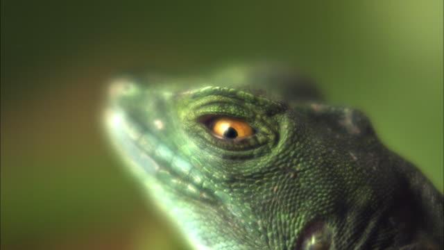 A Basilisk lizard blinks.