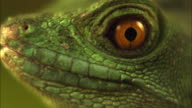 A basilisk lizard stares and then moves its eye.
