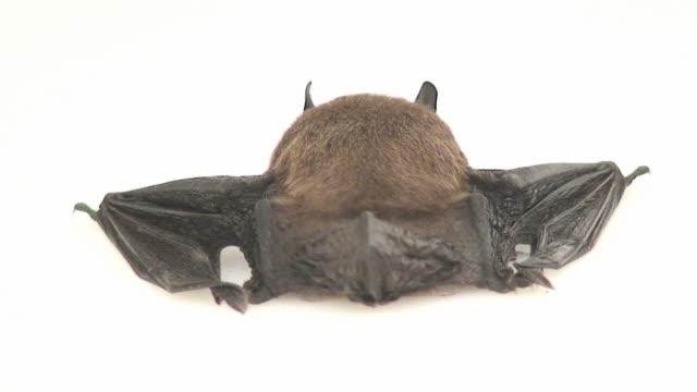 Bat butt