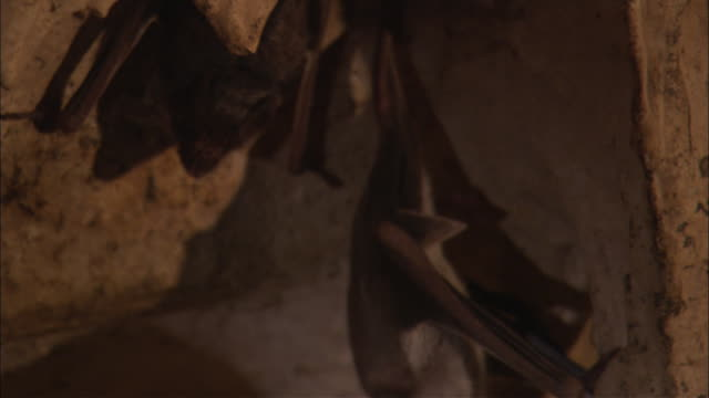A bat crawls around a stalactite on a cave roof.