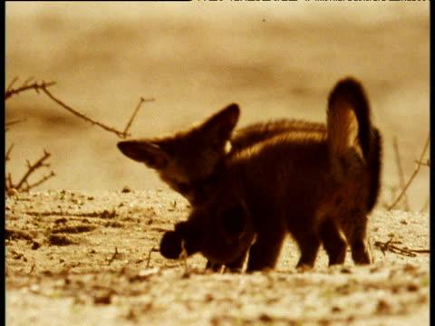 Bat Eared fox cubs play