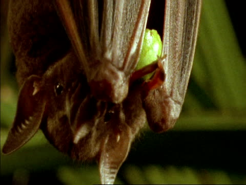 BCU Bat hanging upside-down, feeding on fig, Panama