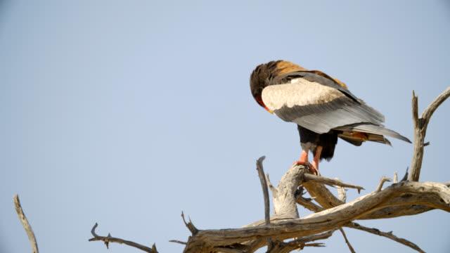 MS Bateleur (Terathopius ecaudatus) perching on bare branch against sky / Kgalagadi Transfrontier Park, Kgalagadi District, South Africa