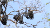 MS Bats hanging on tree branches / Northern Territory, Australia
