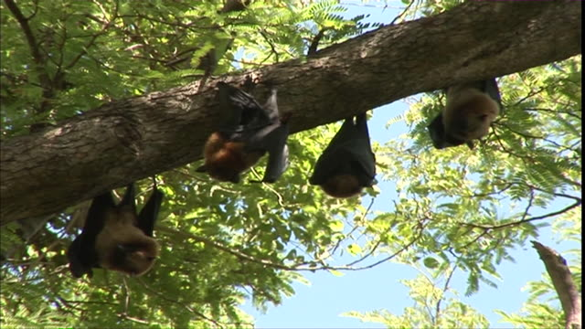 MS Bats hanging on trees / Madagascar
